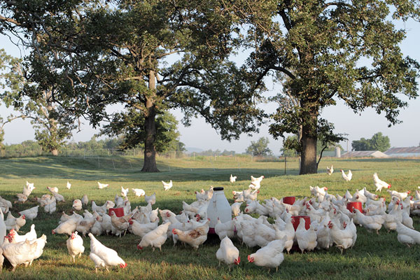 Hens on Vital Farms's pastures