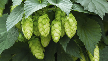 Growing Hops for Beer Brewing @ Roger's Gardens - Corona del Mar | Newport Beach | California | United States