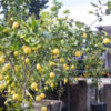 Growing Great Citrus In Southern California With Lynn Hillman