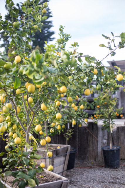 Growing Great Citrus in SoCal @ Roger's Gardens - Corona del Mar