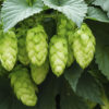 Growing Hops For Beer Brewing With Rex Yarwood & Michael Sullivan