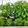 How To Grow A Salsa Garden With Steve Goto